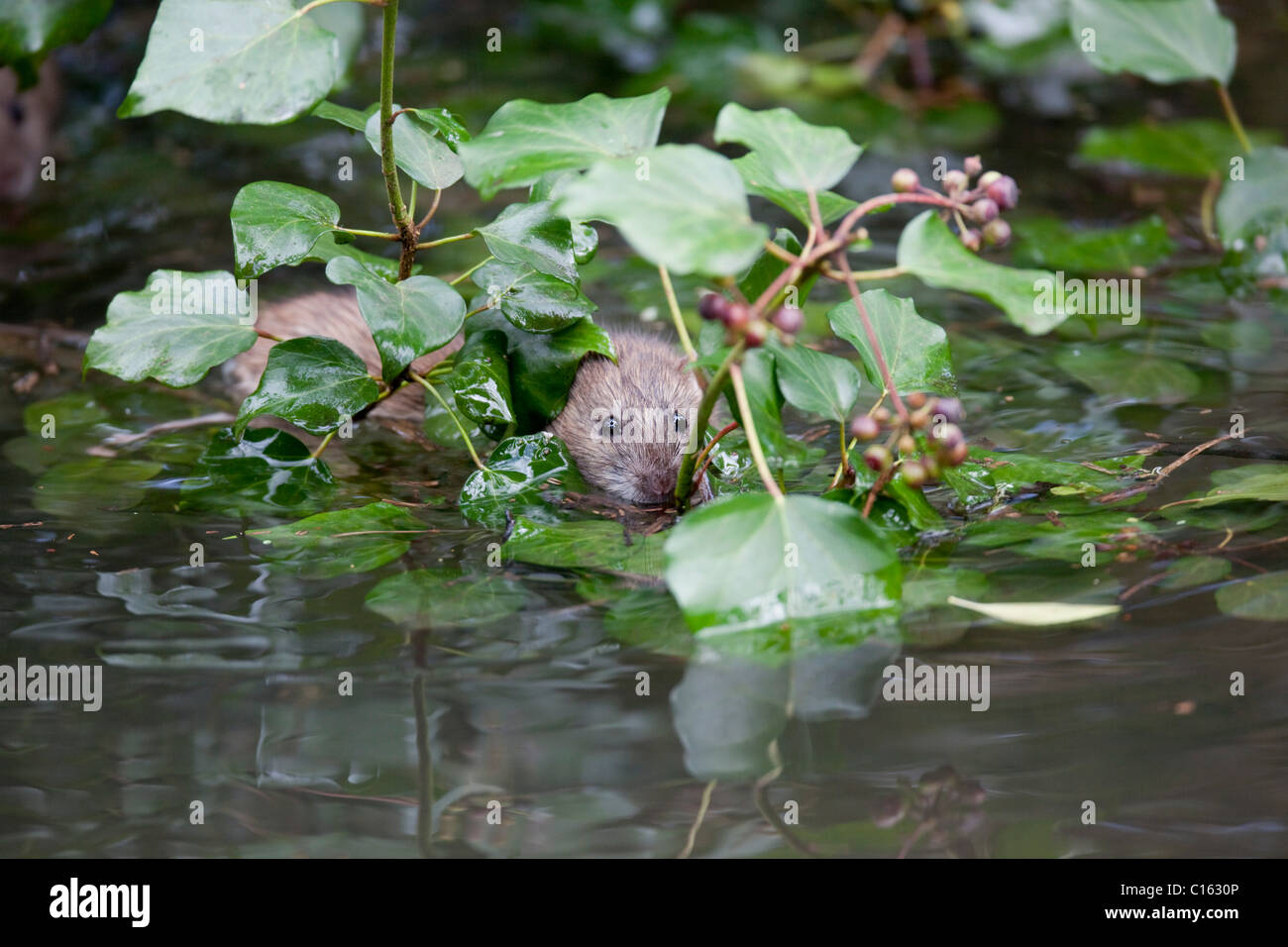 Brown Rat; Rattus norvegicus; swimming; Cornwall; UK - Stock Image