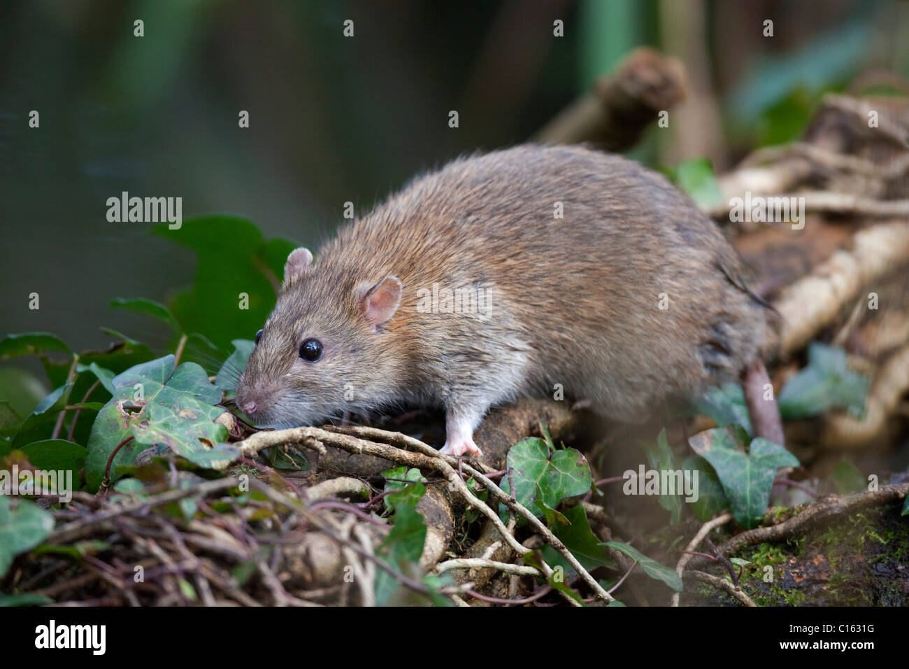 Brown Rat; Rattus norvegicus; climbing on vegetation; Cornwall; UK - Stock Image