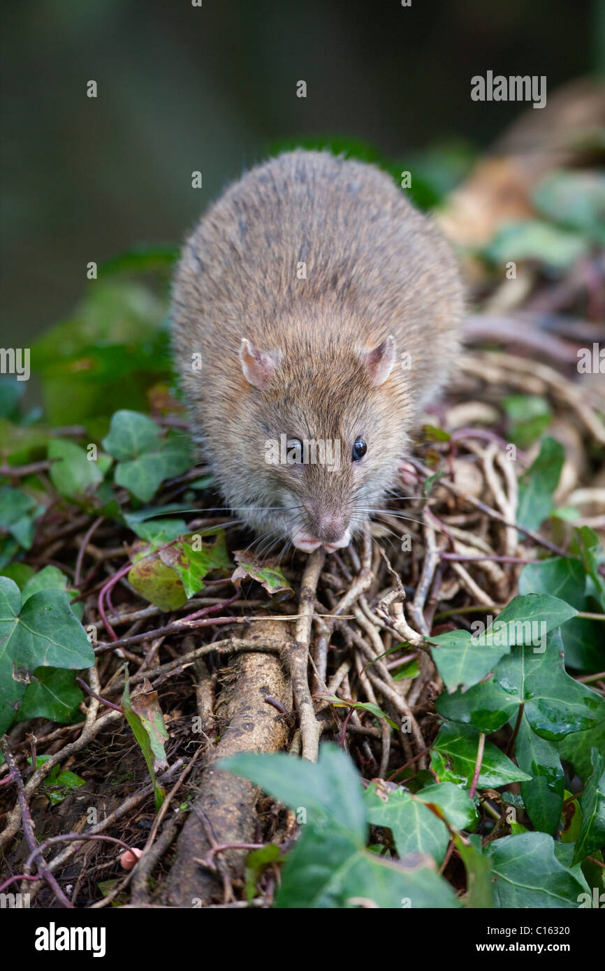 Brown Rat; Rattus norvegicus; Cornwall; UK - Stock Image