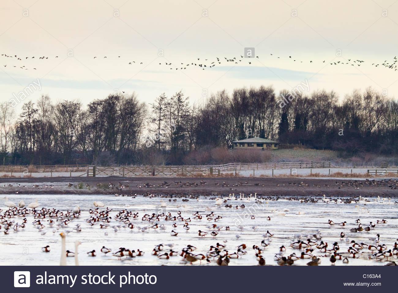 Martin Mere; bird flocks; Lancashire; UK - Stock Image
