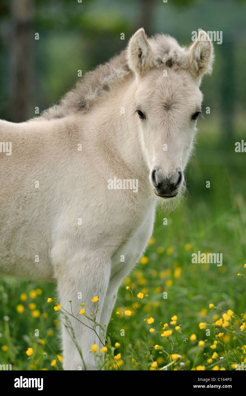 Fjord Horse, Norwegian Pony, foal on colourful spring meadow Stock Photo
