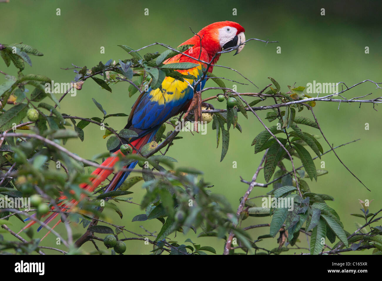 Scarlet Macaw (Ara macao) feeding on a branch, Costa Rica, Osa Peninsula. - Stock Image