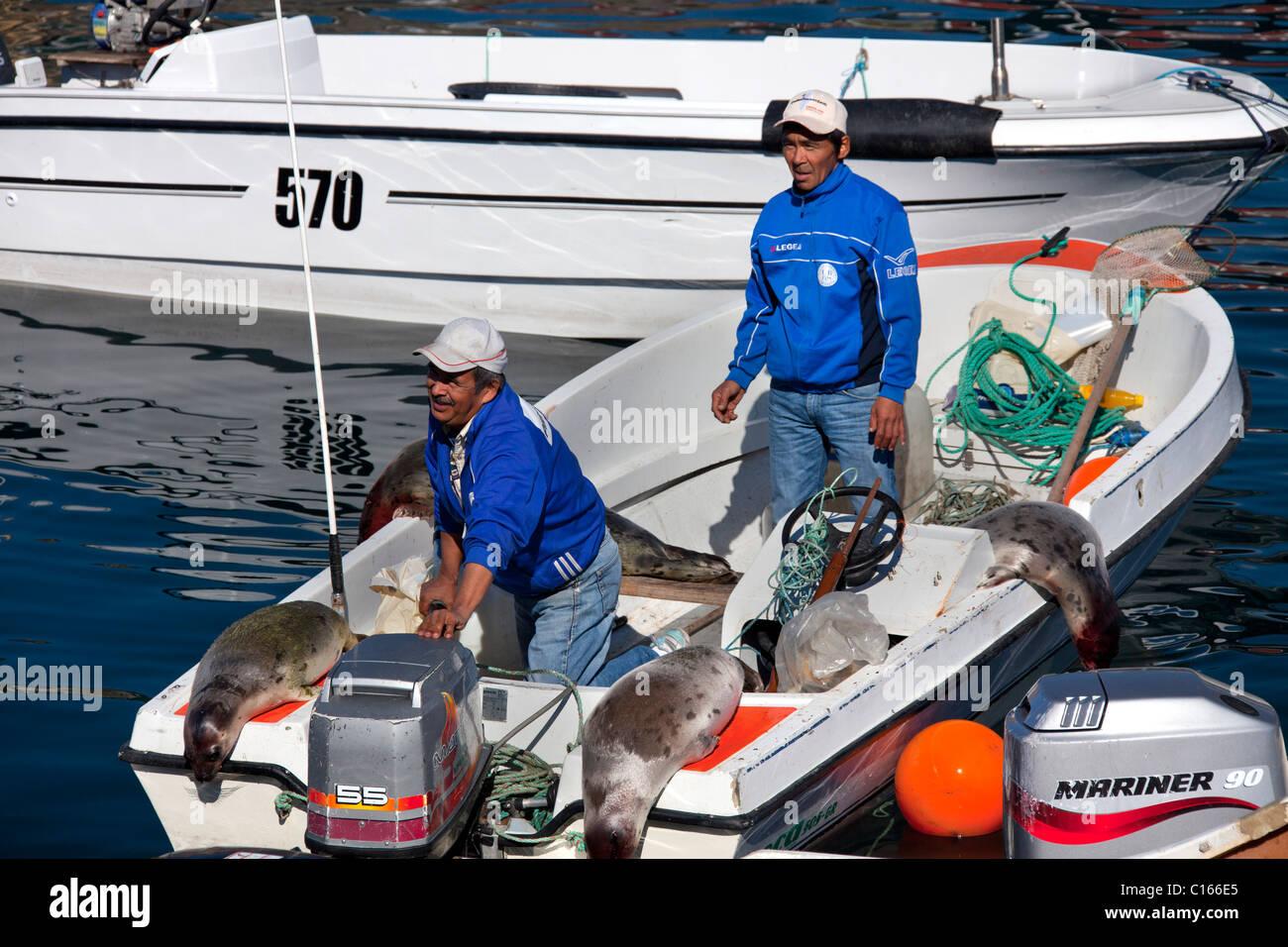 Shot Harp seals (Pagophilus groenlandicus / Phoca groenlandica) in Inuit hunter's motorboat, Uummannaq, Greenland - Stock Image