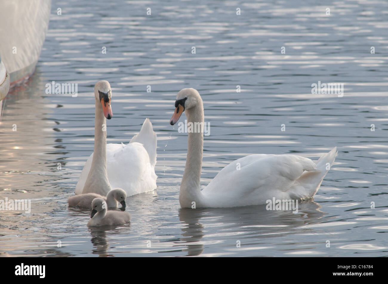 Mute swan pair (Cygnus olor) with cygnets. Waterhead, Lake Windermere, Cumbria, UK. June. Stock Photo