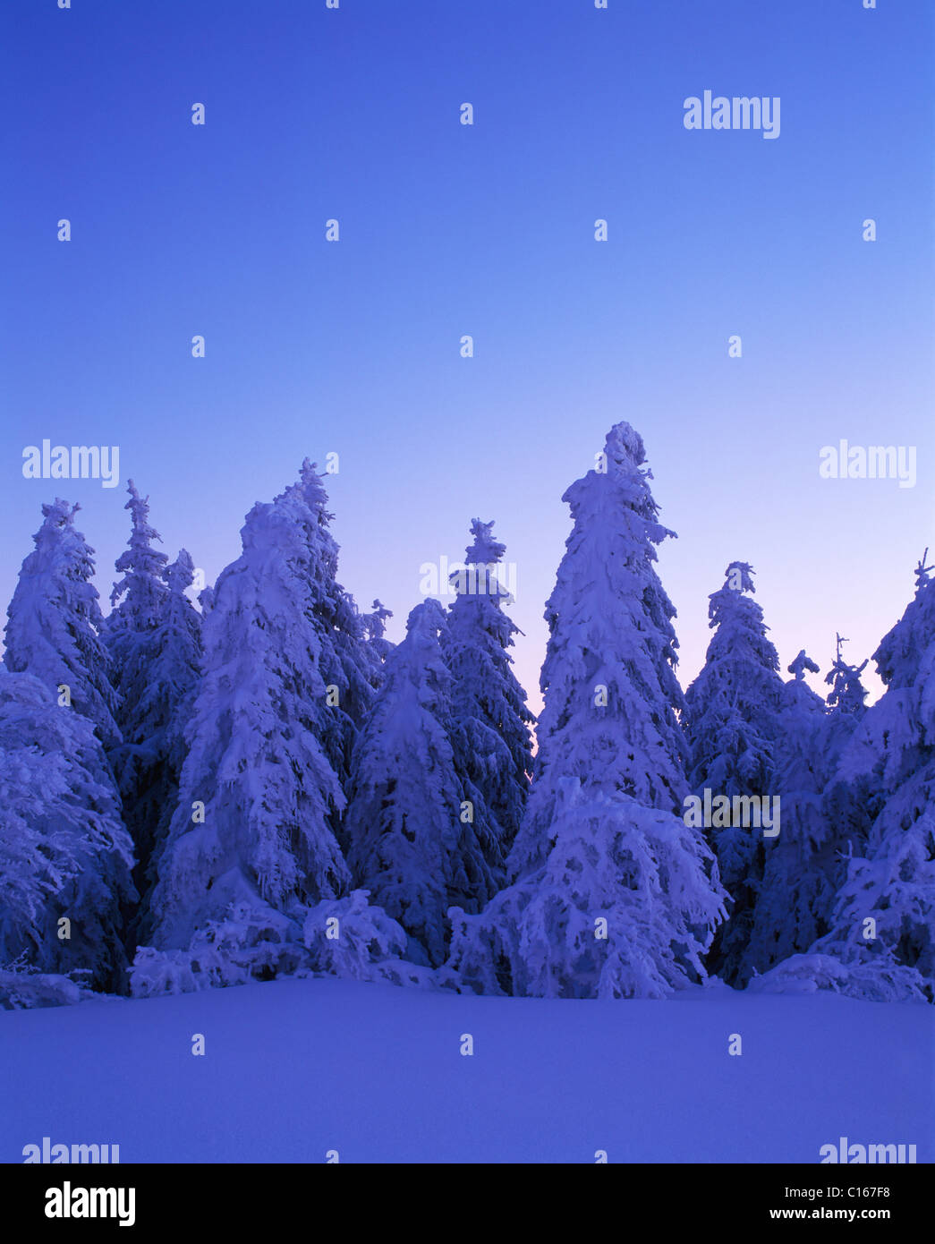 Snow covered Fir trees (Abies), southern Black Forest, Baden-Wuerttemberg, Germany, Europe - Stock Image