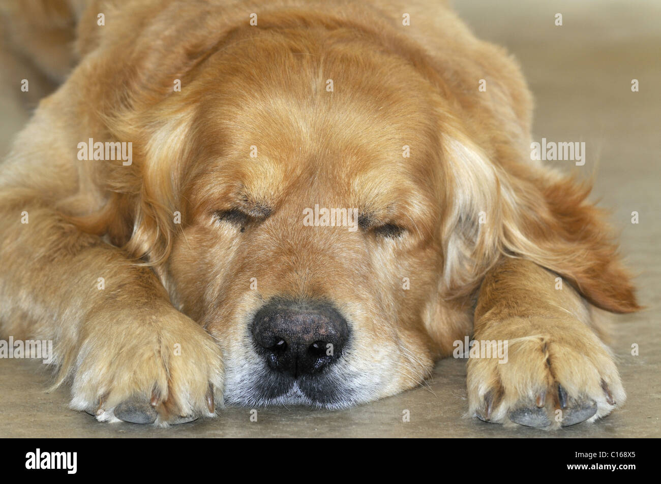 Domestic dog (Canis familiaris) old Golden Retriever sleeping - Provence - France - Stock Image
