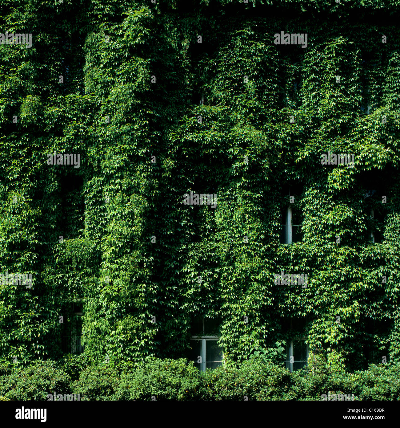 Vegetated house facade, window almost completely overgrown - Stock Image