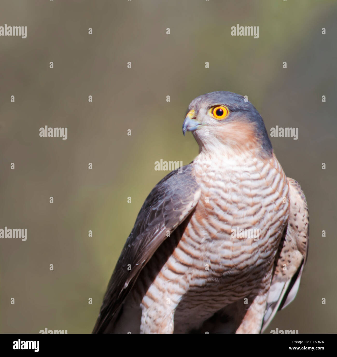 Wild Male Sparrowhawk (Accipiter nisus) perched after unsuccessful hunting attempt - Stock Image