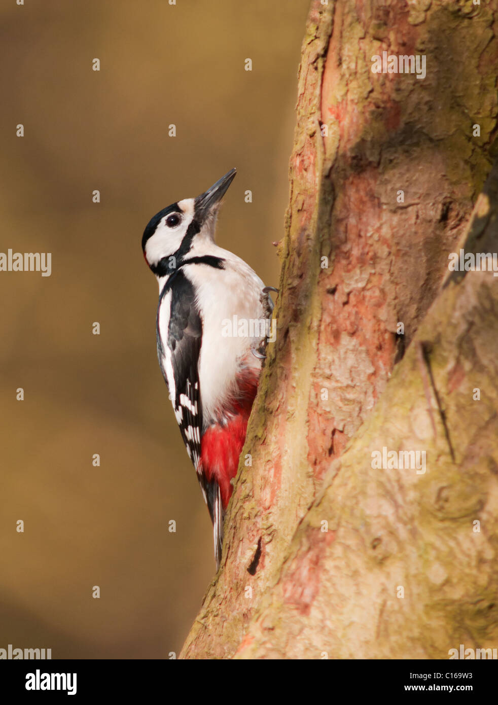 Great Spotted Woodpecker (Dendrocopos major) on tree trunk looking for insects - Stock Image