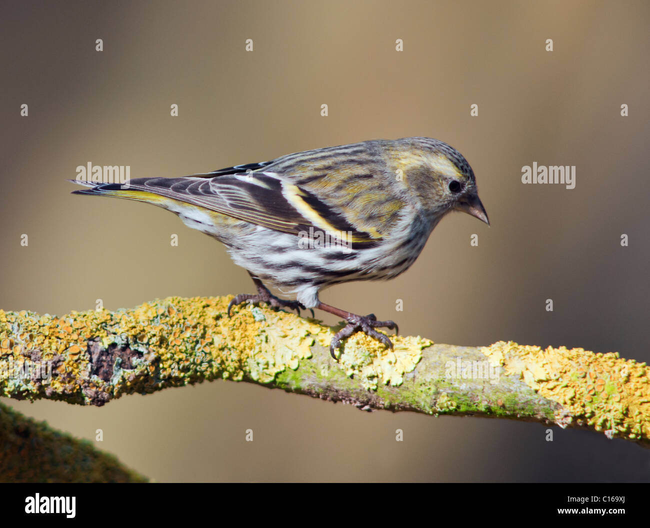 Female Siskin (Carduelis spinus) perched on branch - Stock Image