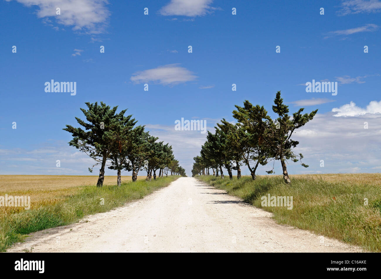 Isolated unpaved road heading straight to the horizon through the fields and a row of trees, Cuenca province, Castile - Stock Image