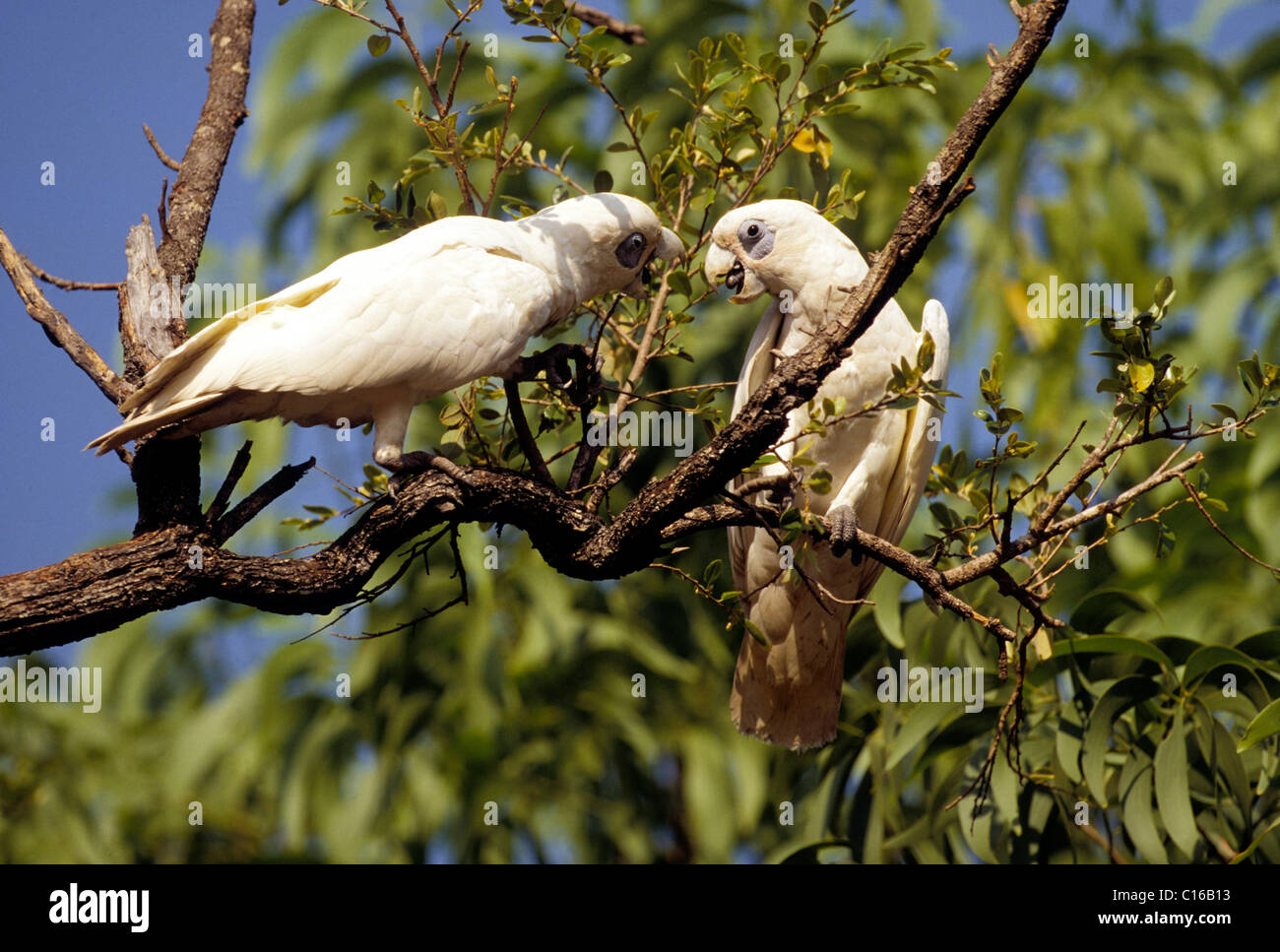 Two cockatoos (Cacatuidae) living in the wild, Cockatoo National Park, Northern Territory, Australia Stock Photo