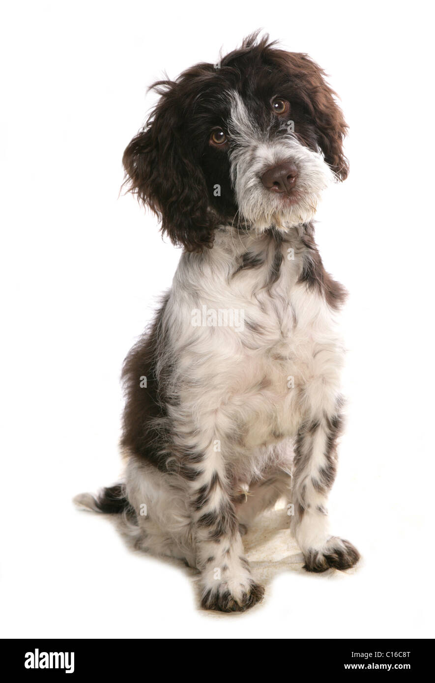 Cockerpoo Single puppy sitting in a studio UK - Stock Image