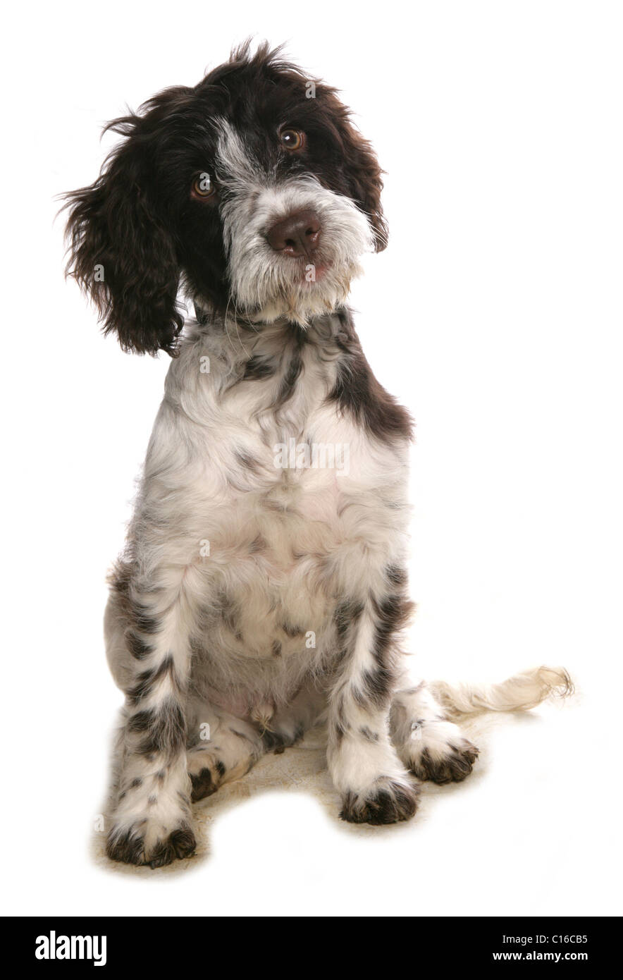Cockerpoo Single puppy sitting in a studio UK Stock Photo