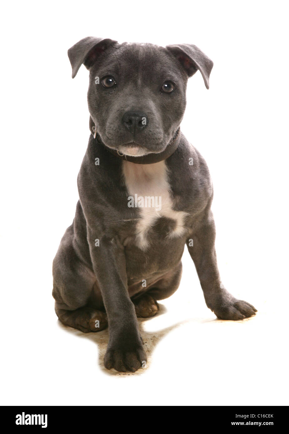 Staffordshire Bull Terrier Single puppy sitting in studio UK - Stock Image