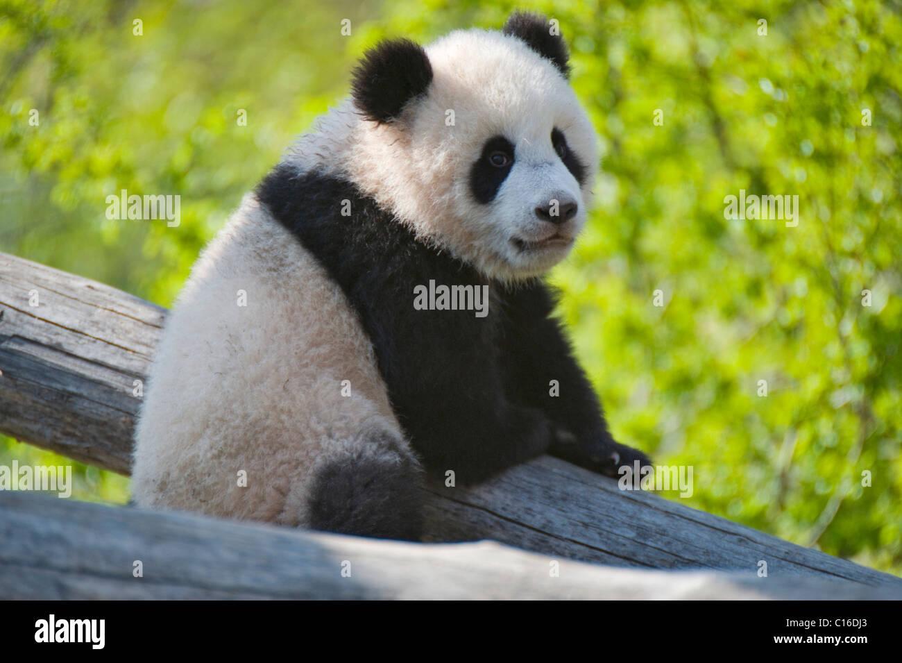 Young Panda (Ailuropoda melanoleuca) named Fu Long, Schoenbrunn Zoo, Vienna, Austria, Europe - Stock Image