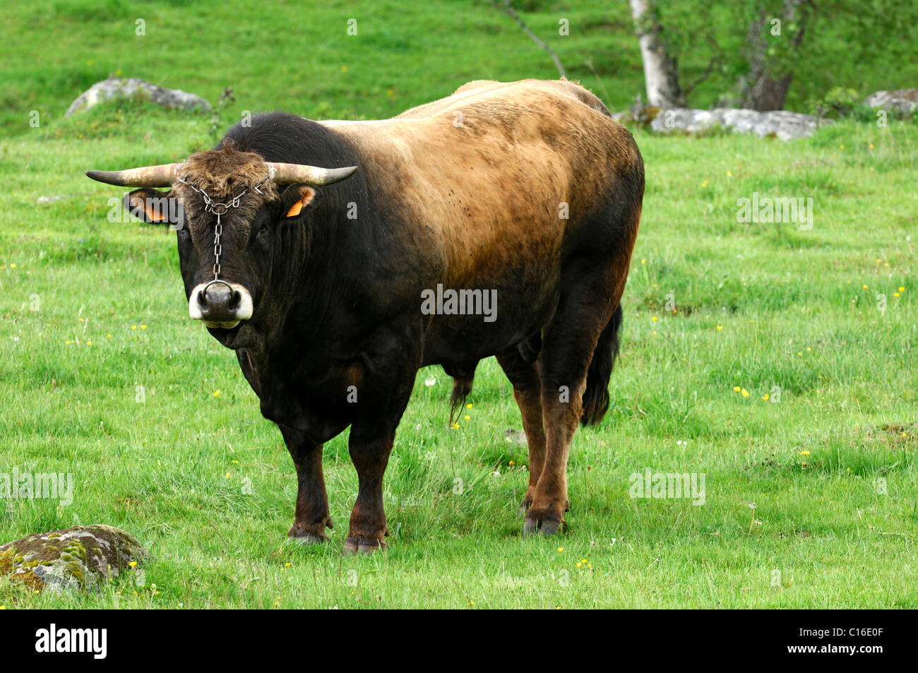Standing Aubrac breeding bull, Aubrac Cattle, France, Europe - Stock Image