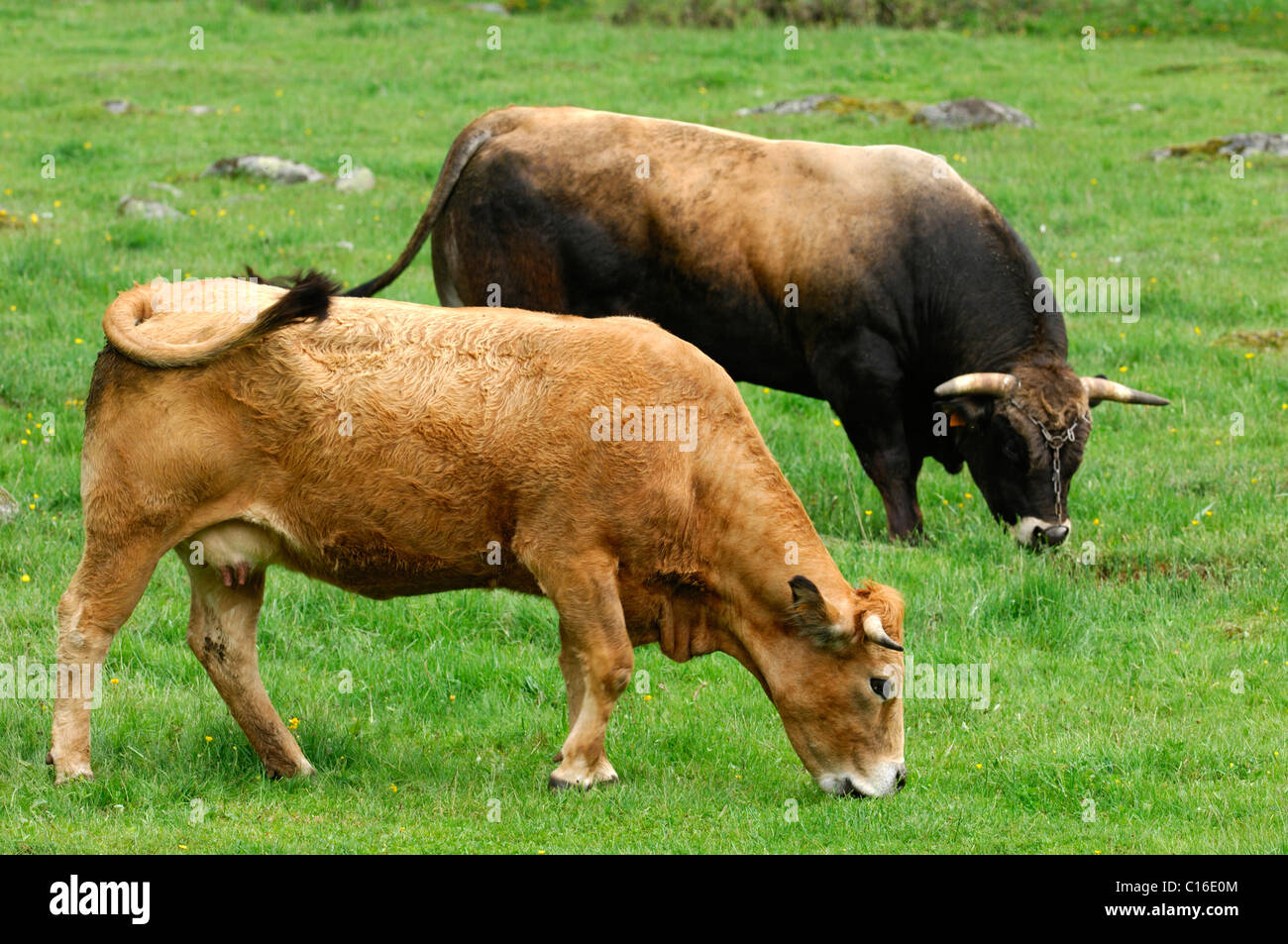 Grazing Aubrac breeding bull and Aubrac heifer, Aubrac Cattle, France, Europe - Stock Image