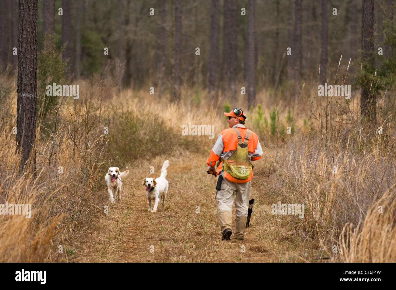 Hunting Guide and English Setters during a Bobwhite Quail Hunt in the Piney Woods of Dougherty County, Georgia - Stock Image