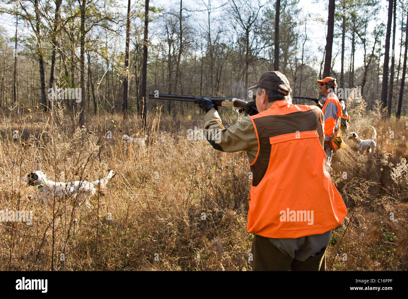 Upland Bird Hunters, Guide and English Setters during a Bobwhite Quail Hunt in the Piney Woods of Dougherty County, - Stock Image