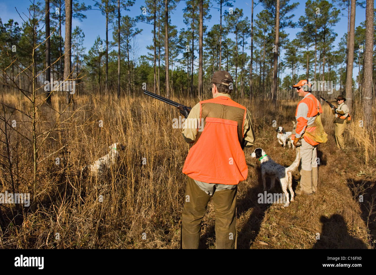 Upland Bird Hunters, Guide, English Cocker Spaniel and English Setters during Bobwhite Quail Hunt in the Piney Woods - Stock Image