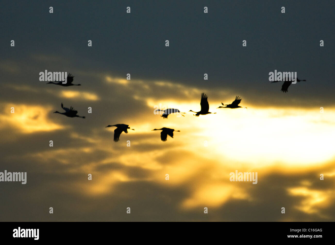 Eight Sandhill Cranes in Flight Silhouetted Against the Sunset in Jackson County, Indiana - Stock Image
