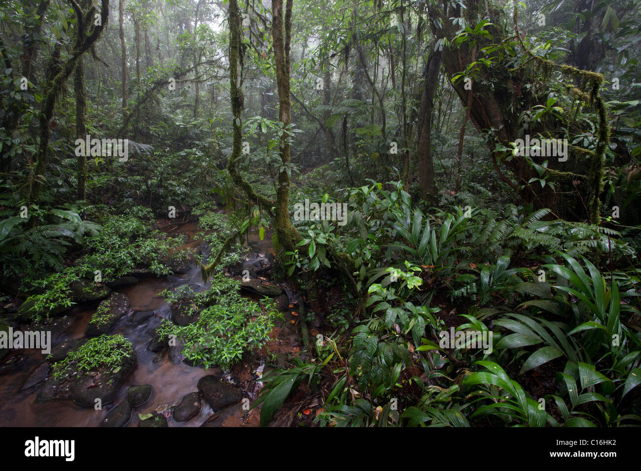 Nectandra Forest, a typical primary Cloud Forest, Costa Rica. - Stock Image