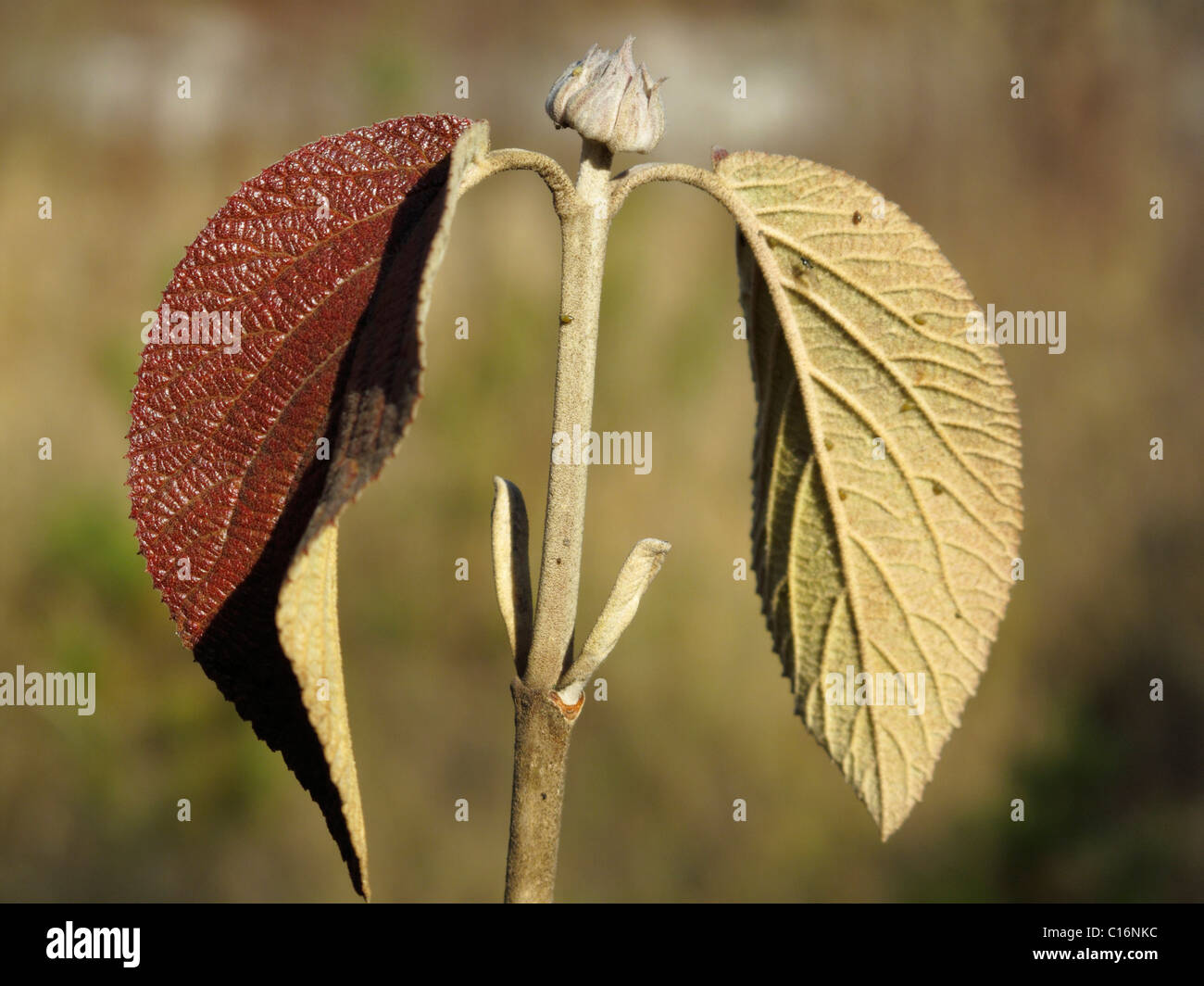 Leaf of a Wayfaring Tree (Viburnum lantana), Bavaria, Germany, Europe Stock Photo
