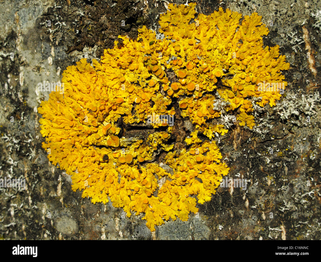Common orange lichen (Xanthoria sp.) on bark, Bavaria, Germany, Europe - Stock Image