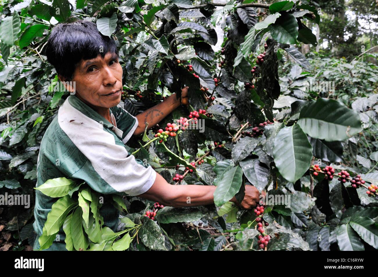 Farmer harvesting coffee, ecological cultivation, Fair Trade Stock Photo: 35185917 - Alamy