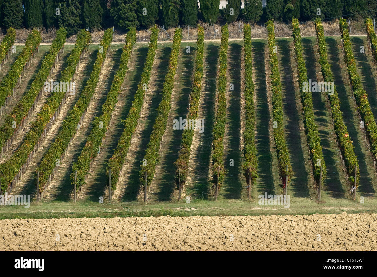 Vineyard, Marche, Italy, Europe - Stock Image