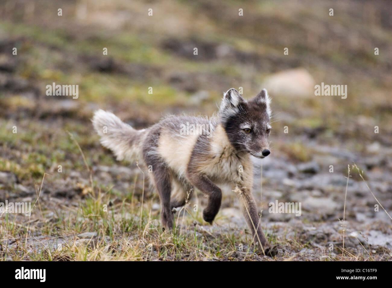 Arctic Fox, White Fox or Snow Fox (Alopex lagopus) running in its summer coat, Spitsbergen, Norway Stock Photo