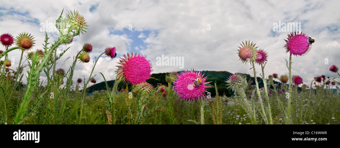 Musk Thistles (Carduus nutans) and bumblebees, panoramic view - Stock Image