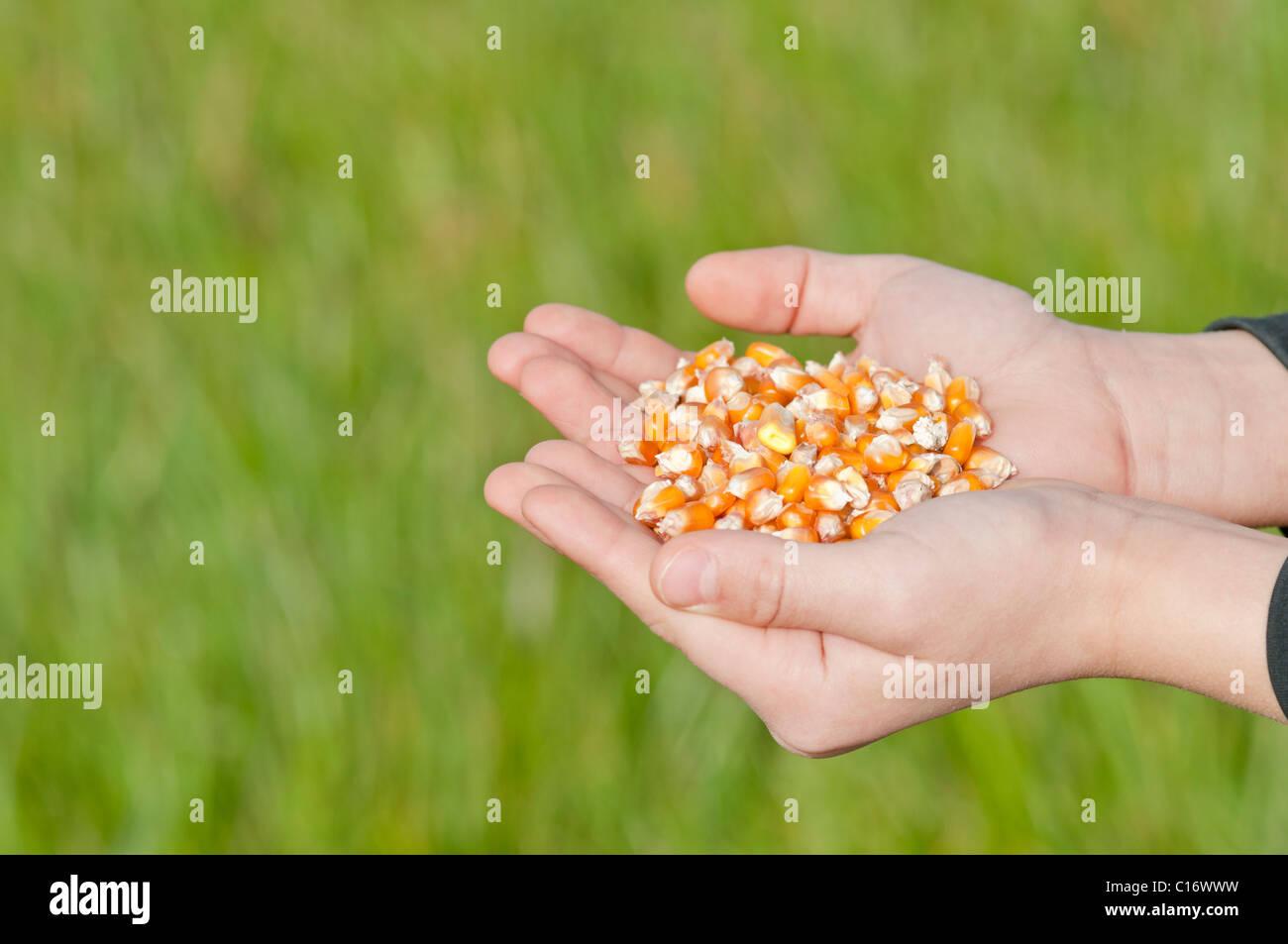 Child holding seed corn , Organic farming close-up Stock Photo