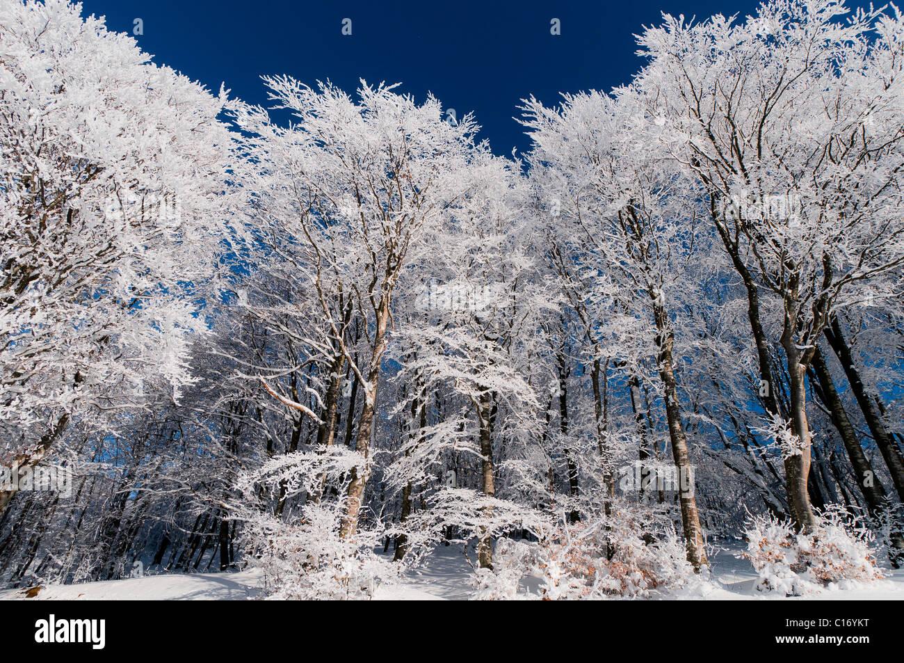 Beech forest in winter. Slivnica, Slovenia. Stock Photo
