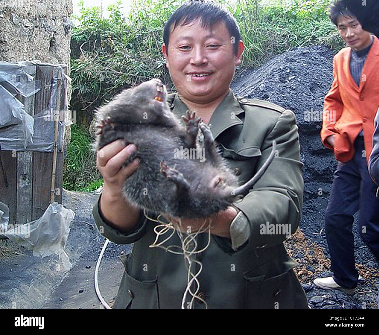 fat rat this rodent giant was found under a house in guiyang china