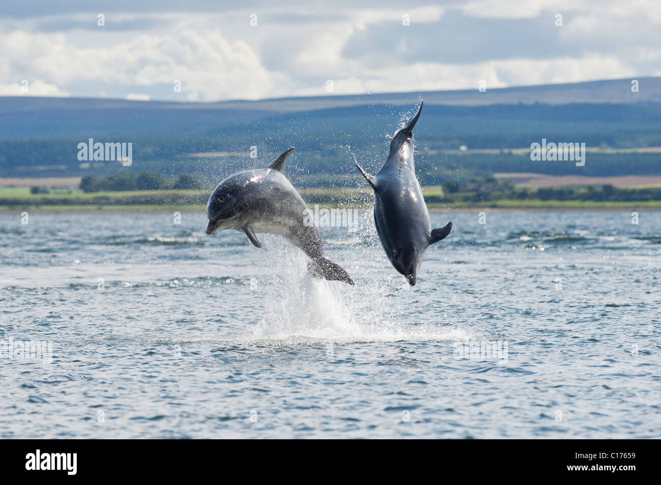 Bottlenose dolphin (Tursiops truncatus) , Moray firth, Scotland, UK. - Stock Image