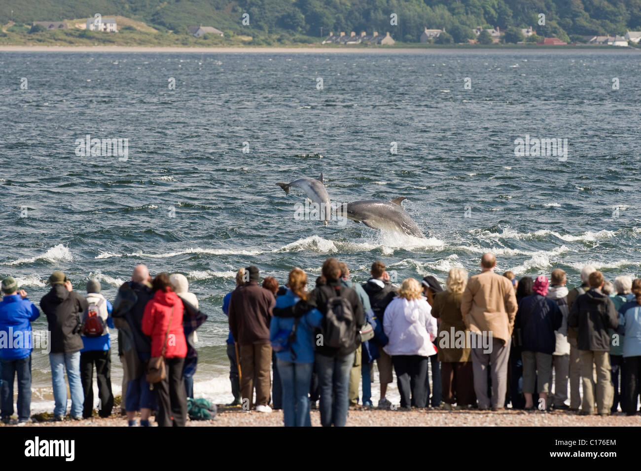 Bottlenose dolphin (Tursiops truncatus) , Moray firth, Scotland, UK. People watching from shore at Chanonry Point - Stock Image
