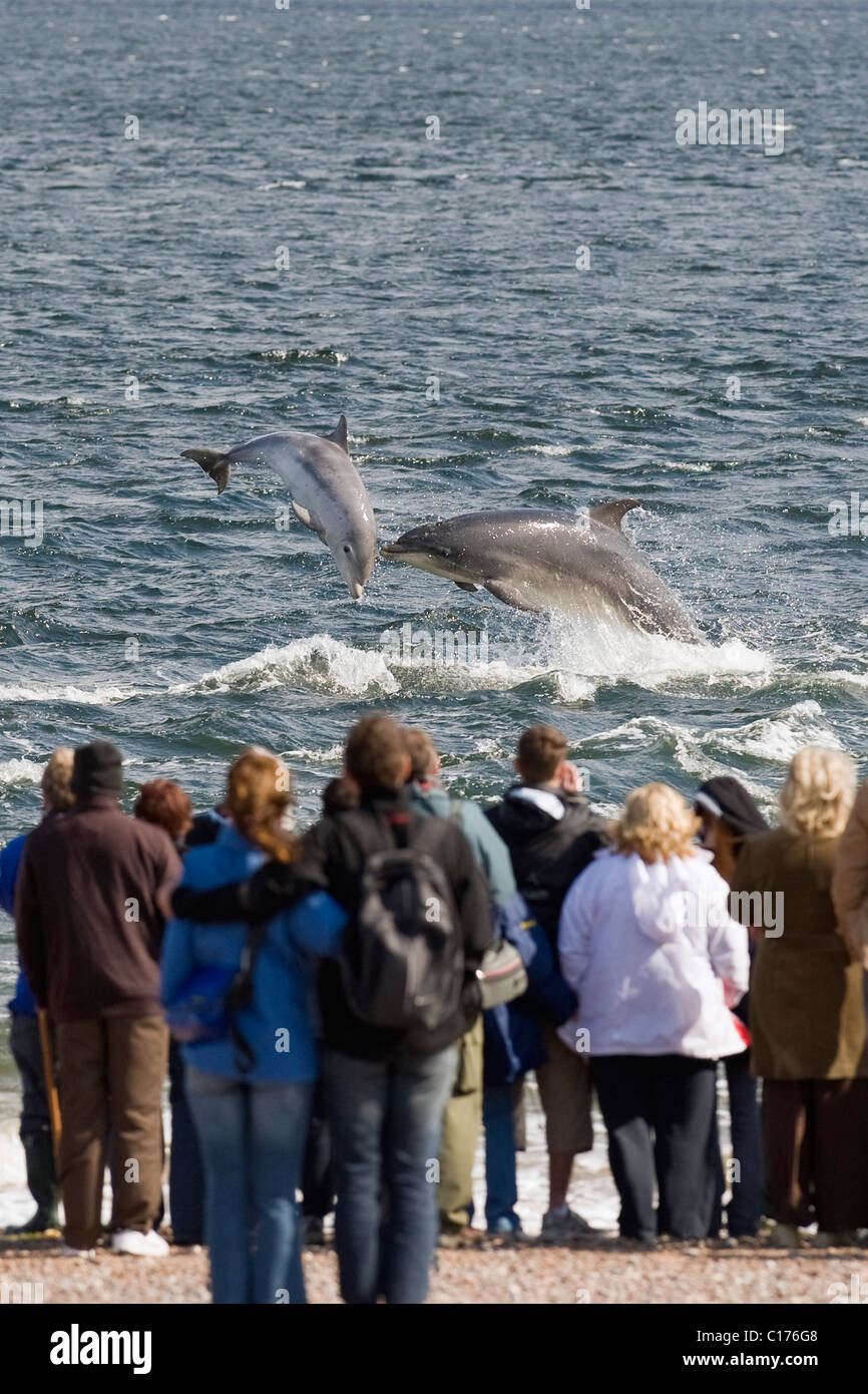 Bottlenose dolphin (Tursiops truncatus) , Moray firth, Scotland, UK. People watching dolphins from shore at Chanonry - Stock Image