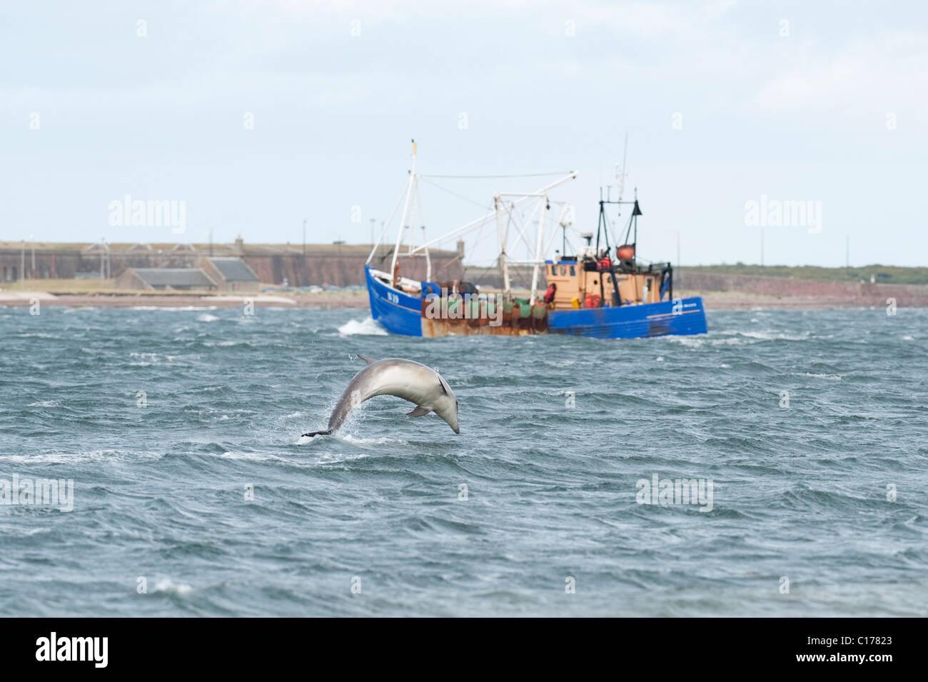 Bottlenose dolphin (Tursiops truncatus) , Moray firth, Scotland, UK. - Stock Image