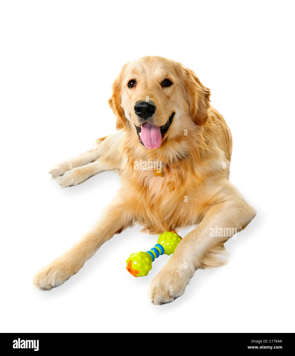 Golden retriever pet dog laying down with toy isolated on white background - Stock Image