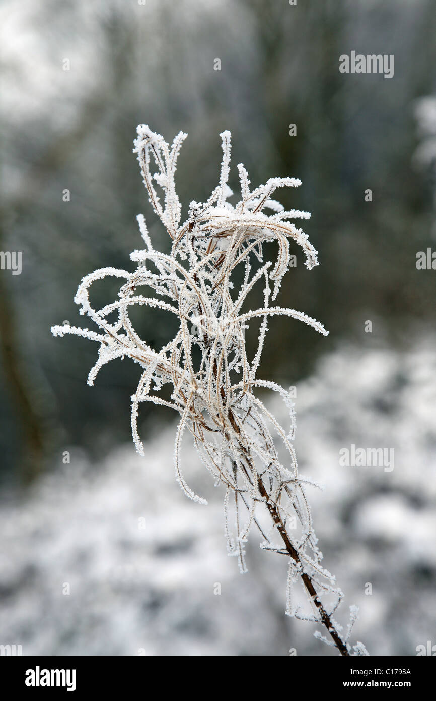 branch or twig or seed head covered in hoar frost - Stock Image