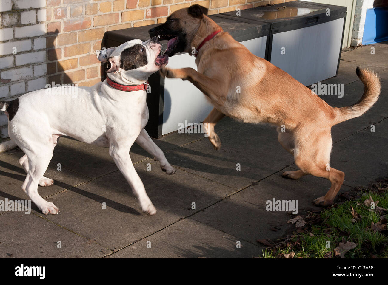 two dogs playfighting - Stock Image