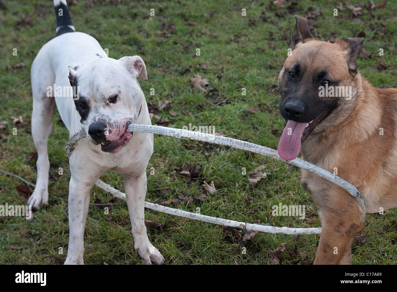 two dogs playing tug of war with hoola hoop - Stock Image