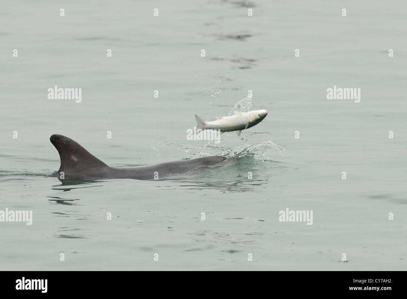 Solitary sociable Bottlenose dolphin (Tursiops truncatus)Playing with fish (mullet).  Folkestone, Kent, UK - Stock Image