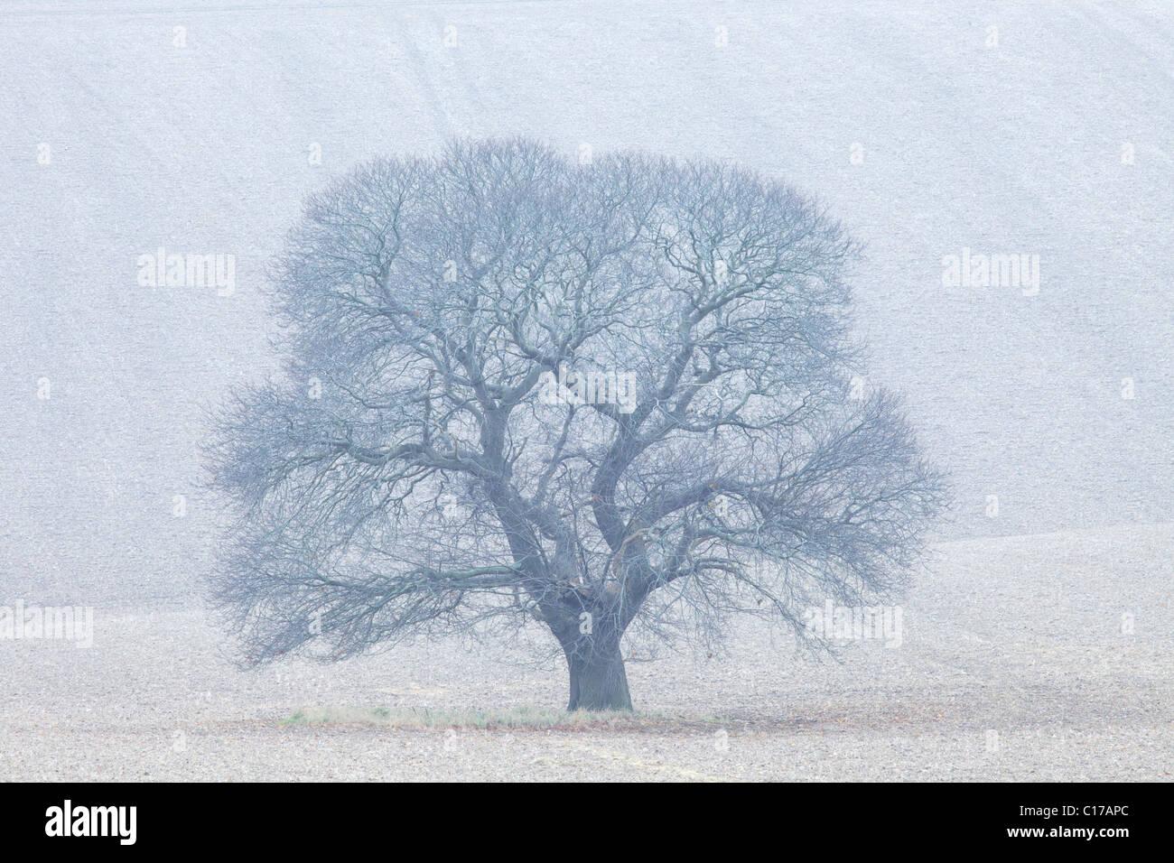 Sweet Chestnut, Castanea sativa, in winter, Salisbury Plain, Wiltshire,  England, UK, United Kingdom, GB, Great Stock Photo