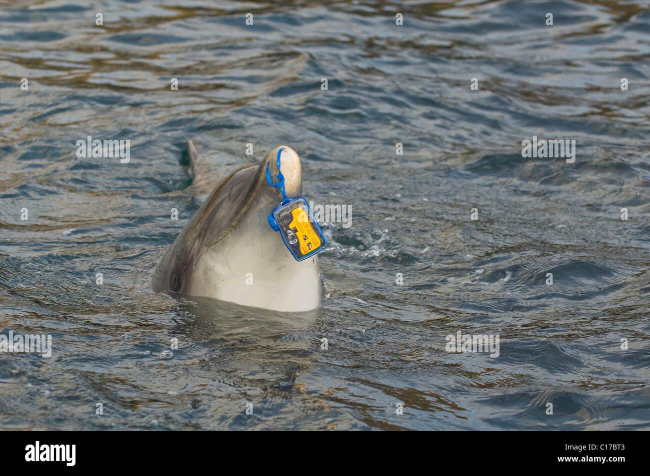 Wild solitary sociable or interactive Bottlenose dolphin Dusty (Tursiops truncatus) Co Clare, Ireland. - Stock Image