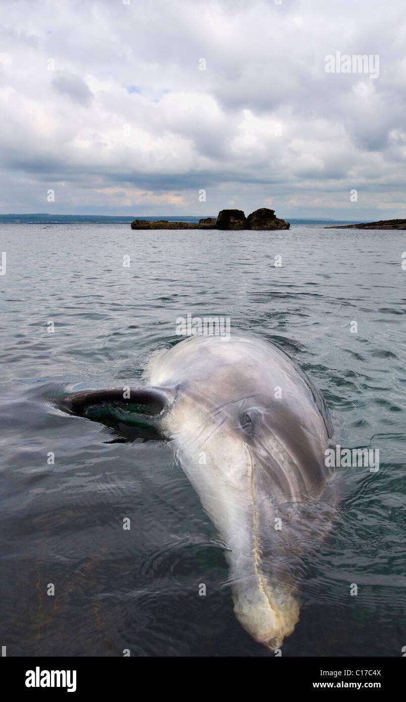 Wild solitary sociable or interactive Bottlenose dolphin Dusty (Tursiops truncatus) Co Clare, Ireland - Stock Image