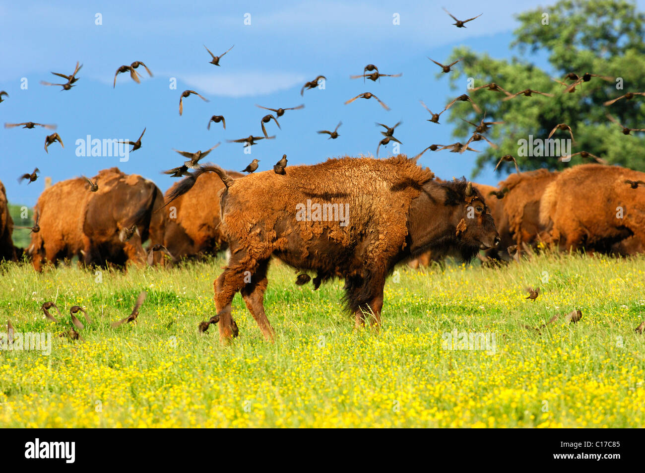 A flock of birds settling on an American Bison (Bison bison), in search of vermin in winter coat - Stock Image