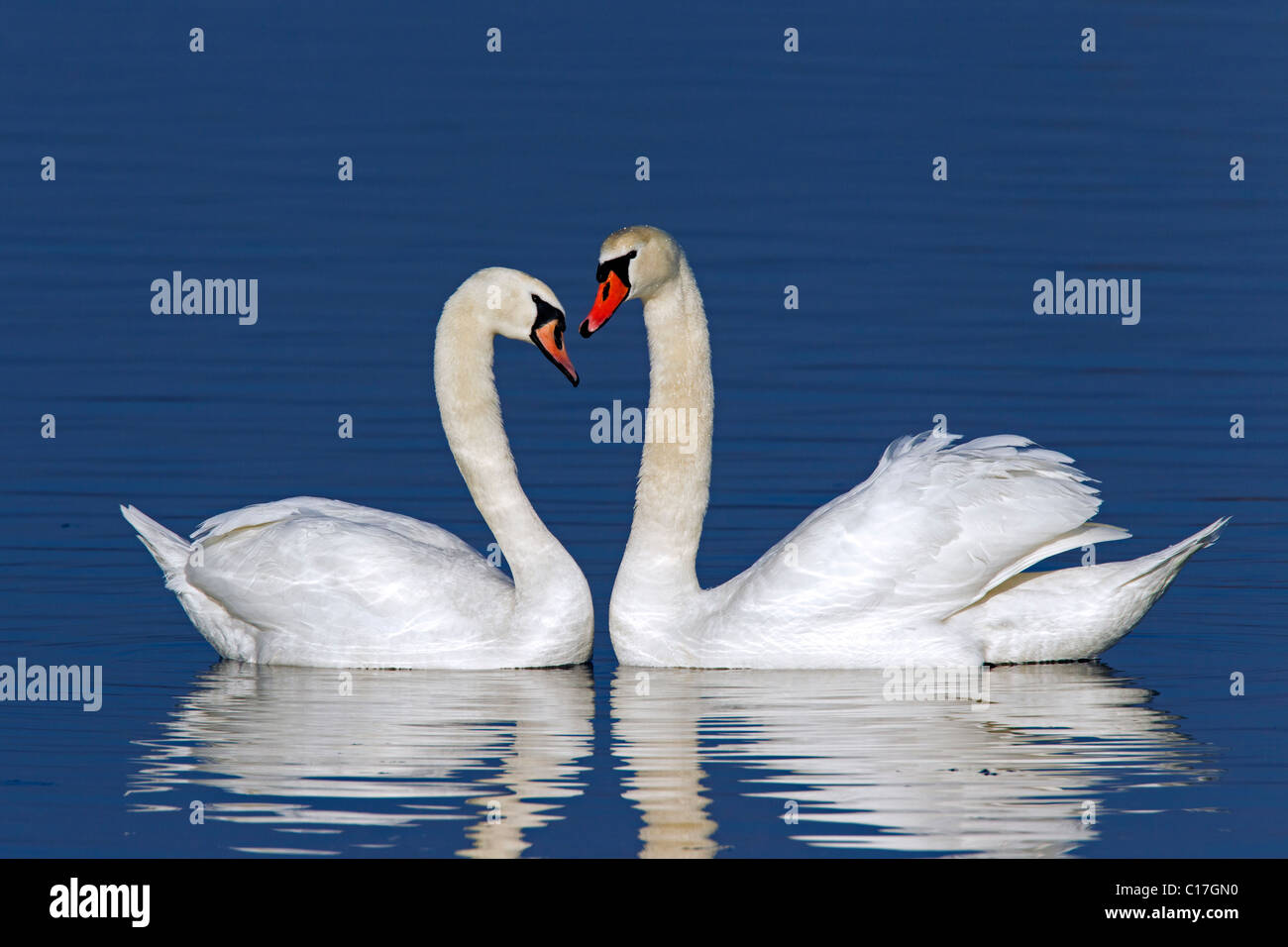 Mute swans (Cygnus olor) showing courtship display in winter, Germany Stock Photo